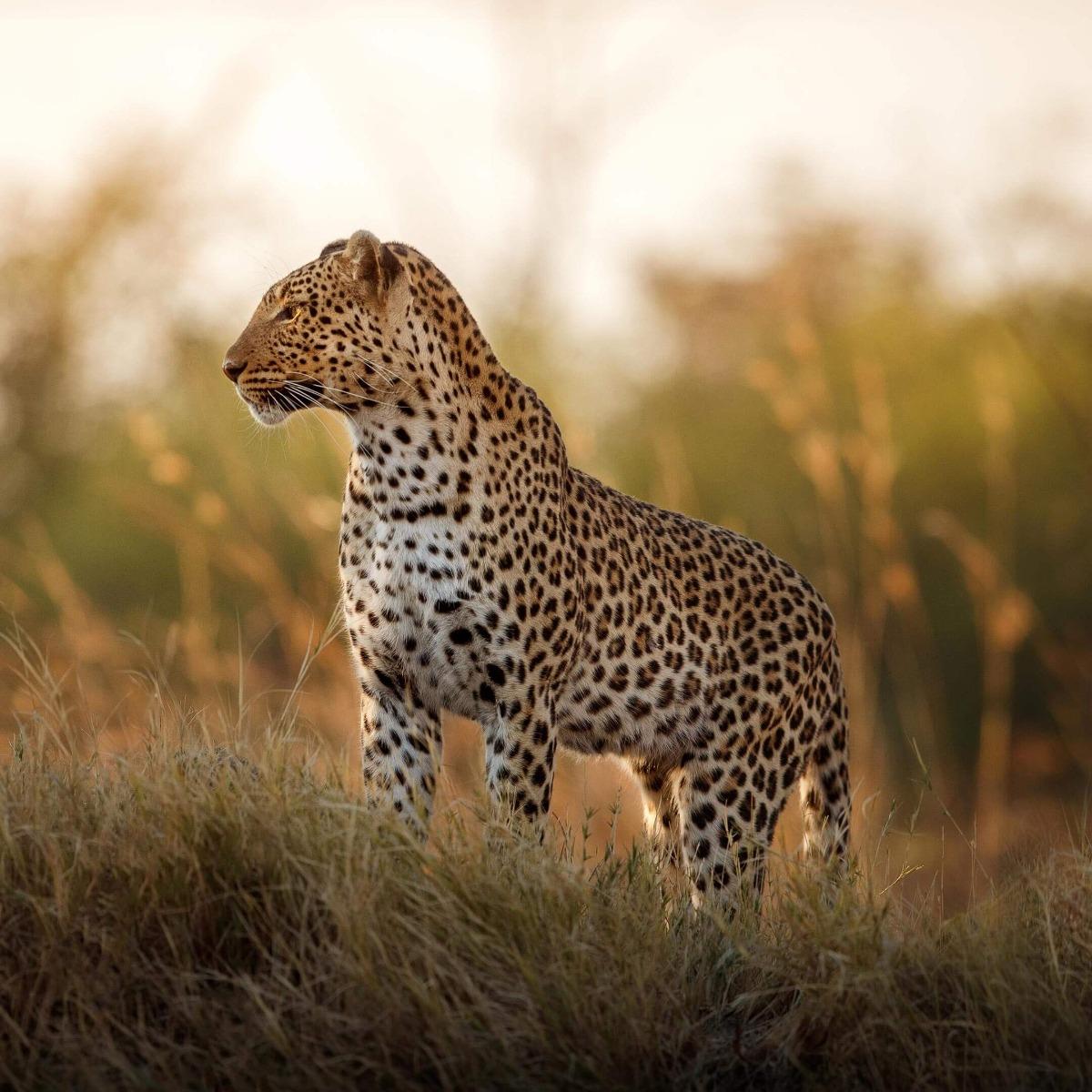 Leopard of Arabia Rose Gold